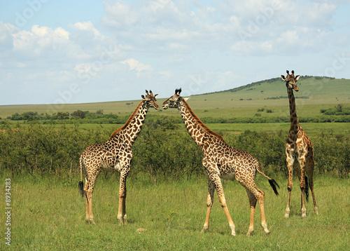 Fototapeta Three African giraffe in Masai Mara Kenya Africa.