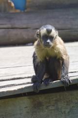 retrato de mono