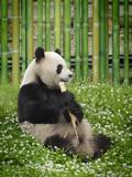 Fototapety Oso Panda