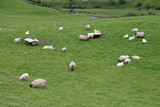 Irish sheep farm with sheep grazing on lush green pastures poster
