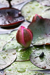 Nymphaea laydekeri purpurata