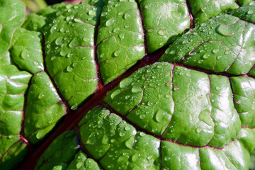 chard leaf with drops