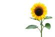 Leinwanddruck Bild - Sonnenblume
