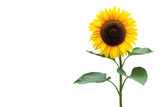 Fototapety Sonnenblume
