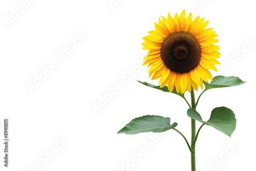 Foto op Canvas Zonnebloem Sonnenblume