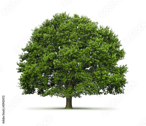 Arbre (chêne) sur fond blanc