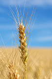 Single stalk of wheat  with blue  sky poster