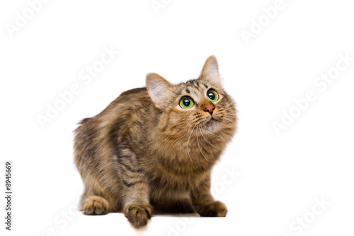 redheaded cat looking up on white background
