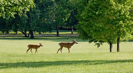 Two Deer Walking