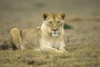 A young lioness rests on the plains