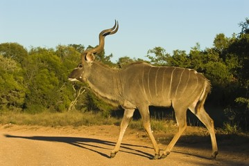 A mature Kudu Bull comes out into the sun