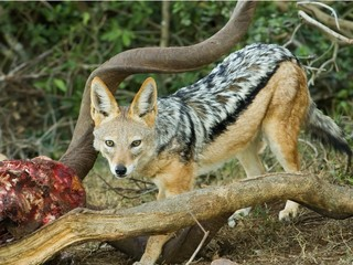 A Jackal sneaks into feed as the lions left their kill