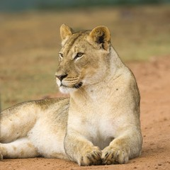 A beautiful Lioness settles next to the photographer