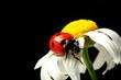 Leinwanddruck Bild summer ladybug on white camomile