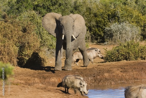 This Elephant was chasing warthogs at the water