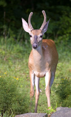 whitetail buck in summer with antlers in velvet