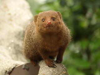 Dwarf mongoose - Snake Killer