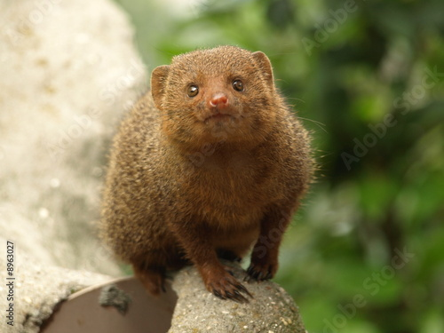 Dwarf mongoose - Snake Killer