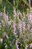 Wildflower - heather blooming. Latin: Calluna vulgaris poster