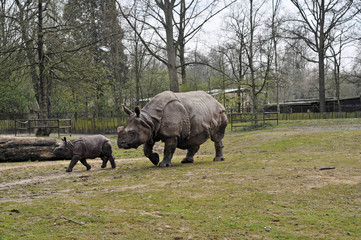 Mother and baby rhino zoo antwerp