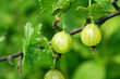 green gooseberry on green nature background