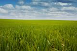 maïs culture céréale campagne agricole vert bio champs ogm poster