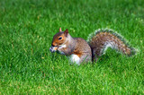 a grey squirrel sits in the grass of boston common poster