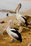 Two pelicans surveying the estuary, New South Wales, Australia poster