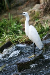 White heron bird with yellow feet standing on rocks in the water
