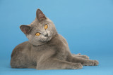 chat des chartreux top model