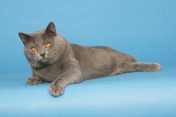 superbe chat des chartreux dans toute sa splendeur