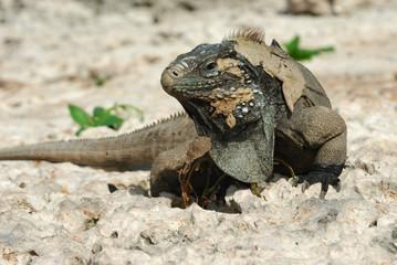 Great Iguana