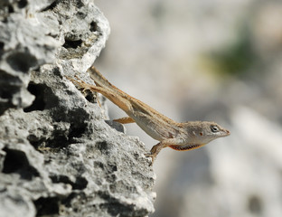 Cuban brown anole observing its territory
