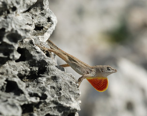 Cuban brown anole defending its territory