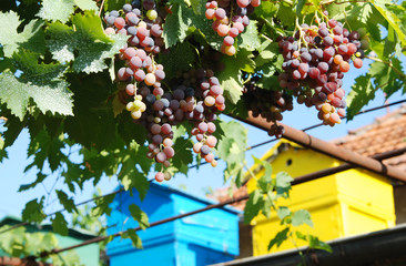 Red grape and Coloured beehives