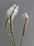 white anthers of plantain lanceolate flowers poster