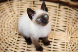 precious little cat in a basket facing upwards poster