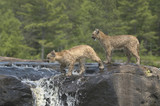 Two cougar kits crossing a waterfall