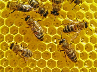 Bees build honeycombs is a cell for placing of nectar and honey