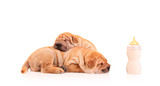 Sharpei puppies resting after some milk feasting poster