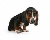 a baby basset hound beagle mix puppy poster
