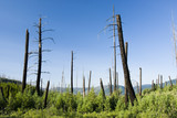 Forest fire damage & new growth in Glacier National Park poster