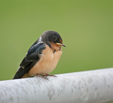 Juvenile barn swallow perched on a metal fence poster