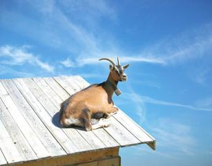 Capra sul tetto
