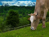 Cow abate grass,close up shoot poster