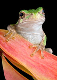 Grey tree frog on seed pod poster