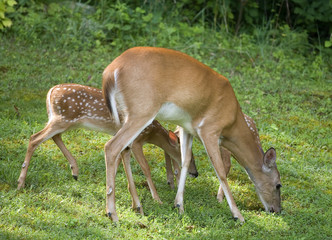 whitetail doe with a pair of fawns eating
