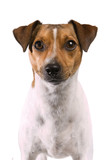 Portrait of a Rat Terrier on a white background - 9075421