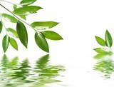 Fototapeta na białym tle - liść - Roślinne