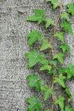 green ivy vine crawling on the tree trunk poster